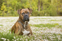 Boxerhund im Park Stockfoto