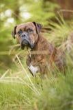 Boxerhund im Wald Stockfotografie