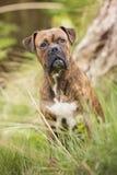 Boxerhund im Wald Lizenzfreies Stockfoto