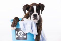 Boxerhund innerhalb eines Eimers Lizenzfreie Stockfotos