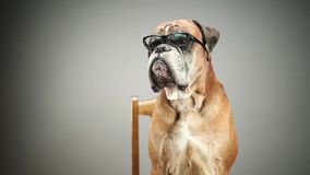 Boxerhund mit Brillen stock video