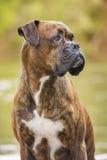Boxerhund nahe bei dem Fluss Stockbilder