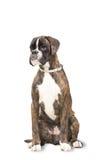 Boxerhund sitzt und untersucht den Abstand Stockbilder