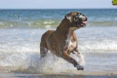 Boxerhund und -kugel Stockbild