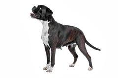 Boxerhund vor einem weißen Hintergrund Stockbild