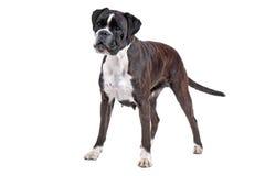 Boxerhund vor einem weißen Hintergrund Lizenzfreies Stockfoto