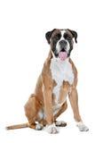 Boxerhund vor einem weißen Hintergrund Lizenzfreie Stockfotos
