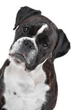 Boxerhund vor einem weißen Hintergrund Lizenzfreie Stockbilder