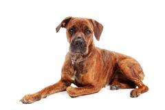 Boxerhund vor weißem Hintergrund stockfotografie