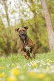 Boxerhundebetrieb Stockbild