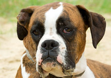 Boxerhundenahaufnahme lizenzfreies stockbild