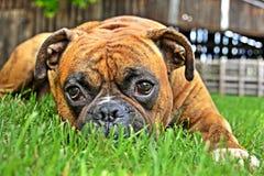 Boxerhundeporträtnahaufnahme auf natürlichem Hintergrund Lizenzfreie Stockfotografie