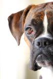 Boxerhundeportrait Lizenzfreie Stockfotografie