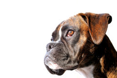 Boxerhundeportrait Lizenzfreie Stockfotos