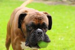 Boxerhundespielen stockbild