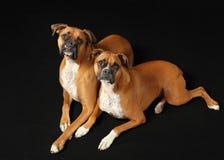 Boxerpaare auf Schwarzem Lizenzfreie Stockfotografie