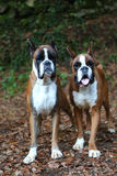 Boxers. Awesome young boxers on a park in autumn Royalty Free Stock Images