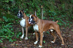 Boxers. Awesome young boxers on a park in autumn Royalty Free Stock Photography