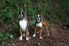 Boxers. Awesome young boxers on a park in autumn Stock Photo