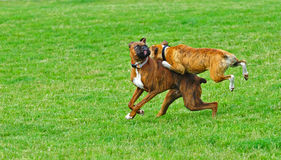 Boxers enjoying life Royalty Free Stock Image