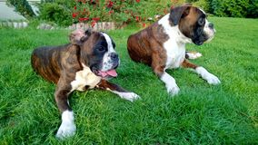 Boxers on the grass, boksery. Boxers on the grass, dogs .Psy boksery Royalty Free Stock Photography