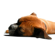A Boxers Life. Isolated boxer sleeping. Interesting angle Royalty Free Stock Photography