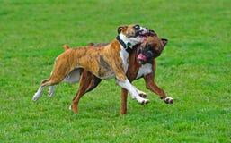 Boxers at play stock photo