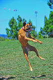 Boxers at play leaping Royalty Free Stock Photos