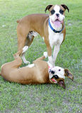 Boxers playing Royalty Free Stock Images