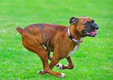 Boxers running Stock Images