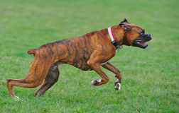 Boxers takes off for a run stock image