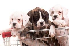 Boxers Royalty Free Stock Photo