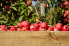 Boxes of apples in orchard Stock Images