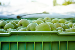 Boxes of apples in orchard Royalty Free Stock Photography