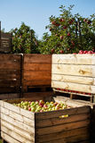 Boxes of apples in orchard Royalty Free Stock Image