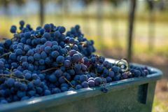 Boxes of blue grapes in the vineyard. Cabernet Franc blue vine grapes. Boxes of blue grapes in the vineyard. Cabernet Franc blue vine grapes in crates at the royalty free stock photos