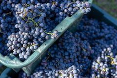 Boxes of blue grapes in the vineyard. Cabernet Franc blue vine grapes. Boxes of blue grapes in the vineyard. Cabernet Franc blue vine grapes in crates at the royalty free stock photo
