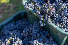 Boxes of blue grapes in the vineyard. Cabernet Franc blue vine grapes. Boxes of blue grapes in the vineyard. Cabernet Franc blue vine grapes in crates at the royalty free stock images