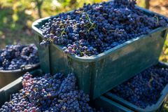 Boxes of blue grapes in the vineyard. Cabernet Franc blue vine grapes. Boxes of blue grapes in the vineyard. Cabernet Franc blue vine grapes in crates at the stock photos