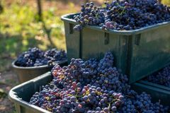 Boxes of blue grapes in the vineyard. Cabernet Franc blue vine grapes. Boxes of blue grapes in the vineyard. Cabernet Franc blue vine grapes in crates at the stock image