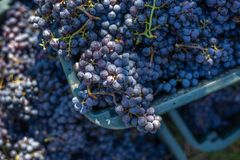 Boxes of blue grapes in the vineyard. Cabernet Franc blue vine grapes. Boxes of blue grapes in the vineyard. Cabernet Franc blue vine grapes in crates at the royalty free stock photography