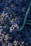 Boxes of blue grapes in the vineyard. Cabernet Franc blue vine grapes. Boxes of blue grapes in the vineyard. Cabernet Franc blue vine grapes in crates at the stock images