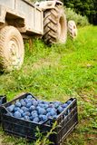 Boxes with plums near tractor - harvesting concept. Boxes with plums near a tractor in a grass field, harvesting concept Royalty Free Stock Image