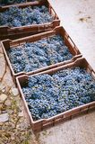 Boxes of red grape. Freshly harvested in small vineyard in Chile Stock Images