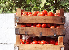 Boxes of tomatoes. At outdoor street market Royalty Free Stock Photo