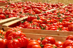 Boxes with tomatoes. Boxes of red,juicy tomato Stock Photography
