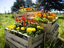 Boxes with wildflowers of red, yellow and orange Bonanza Bolero. On a bright sunny day in the field on the farm stock photography