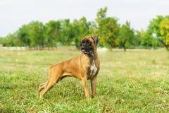 Boxeur allemand de jeune race de chien regardant au côté photos stock