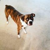 Boxeur, bringé, chien, amant de chien images stock