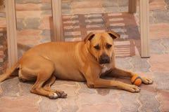Boxeur - chien d'abri, les besoins une famille Image stock